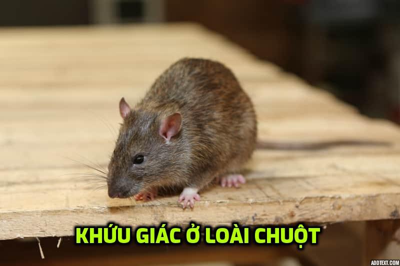 khuu-giac-cua-chuot